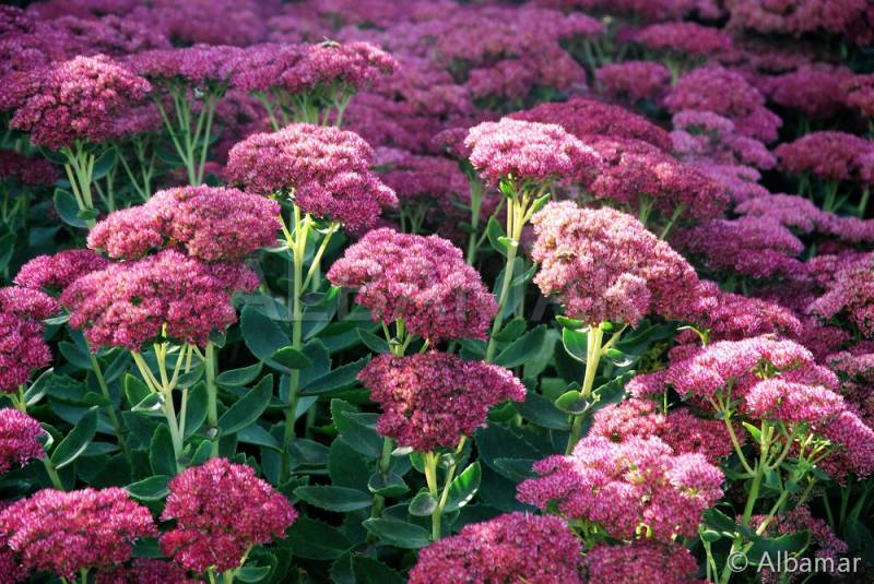 rozchodnik karpacki 39 herbstfreude 39 sedum telephium autumn. Black Bedroom Furniture Sets. Home Design Ideas