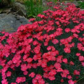 Goździk siny 'Badenia' Dianthus gratianopolitanus