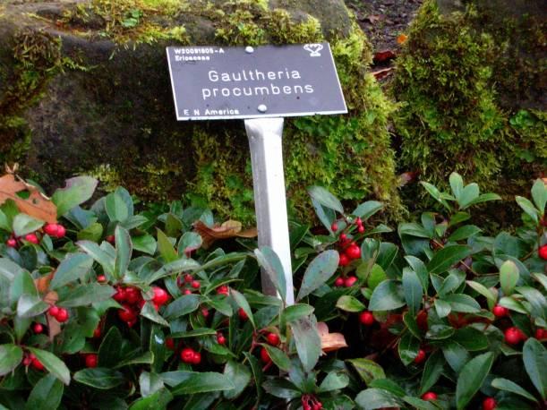 Golteria pełzająca Gaultheria procumbens
