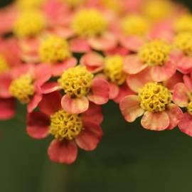 Krwawnik pospolity 'Terracotta' Achillea millefolium