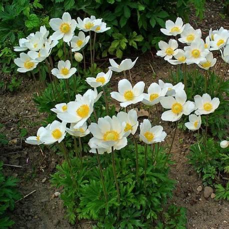 Zawilec wielkokwiatowy 'Snow White' Anemone sylvestris