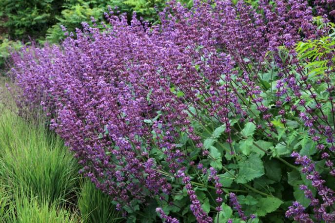 Szałwia okręgowa 'Purple Rain' Salvia verticilata
