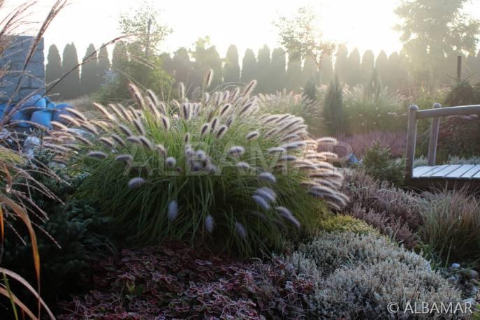 Piórkówka japońska 'Black Beauty' Pennisetum alopecuroides