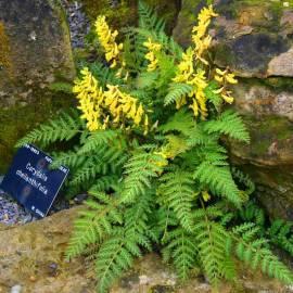 Kokorycz paprociolistna 'Pinyin' Corydalis cheilanthifolia