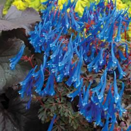 Kokorycz 'Blue Heron' Corydalis curviflora