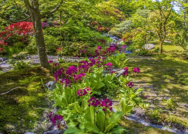 Pierwiosnek japoński 'Miller's Crimson' Primula japonica