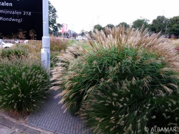 Miskant chiński 'Silberfeder' Miscanthus sinensis