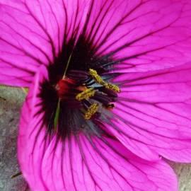 Bodziszek 'Patricia' Geranium x