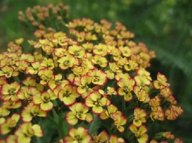 Krwawnik pospolity 'Tricolor' Achillea millefolium
