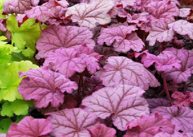 Żurawka 'Berry Smoothie' Heuchera