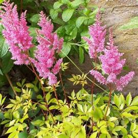 Tawułka Arendsa 'Color Flash Lime' Astilbe x arendsii