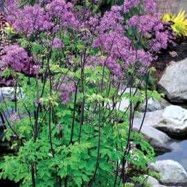 Rutewka 'Black Stockings' Thalictrum