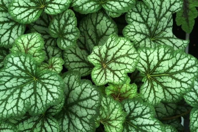 Żurawka 'Green Spice' Heuchera