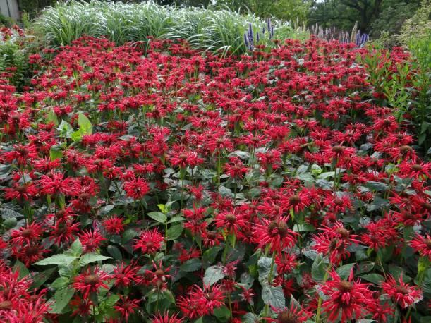 Pysznogłówka dwoista 'Gardenview Scarlet' Monarda didyma