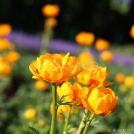 Pełnik ogrodowy 'Orange Princess' Trollius x cultorum