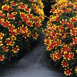 Nachyłek okółkowy 'Honeybunch Red & Gold' Coreopsis verticilata