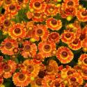 Dzielżan jesienny 'Fuego' Helenium atumnale