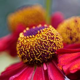 Dzielżan jesienny 'Siesta' Helenium atumnale