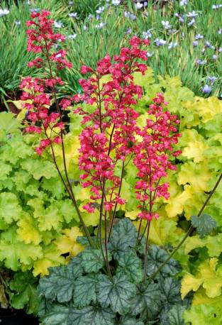 Żurawka 'Paris' Heuchera