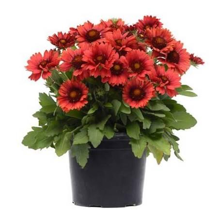Gailardia 'Arizona Red Shades' Gaillardia