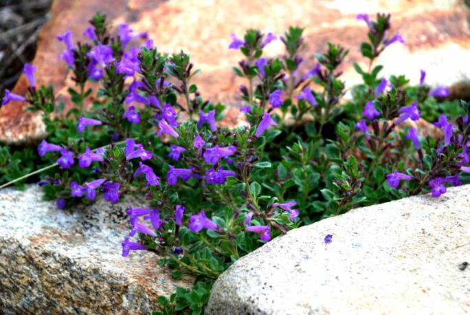 Czyścica alpejska Acinos alpinus