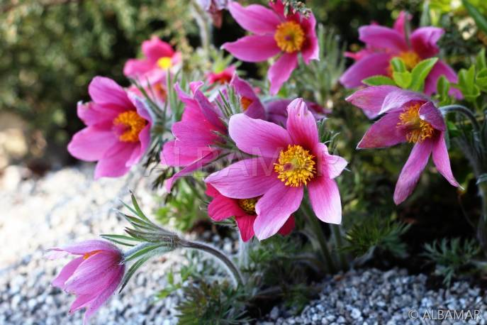 Sasanka zwyczajna 'Rose Shades' Pulsatilla vulgaris