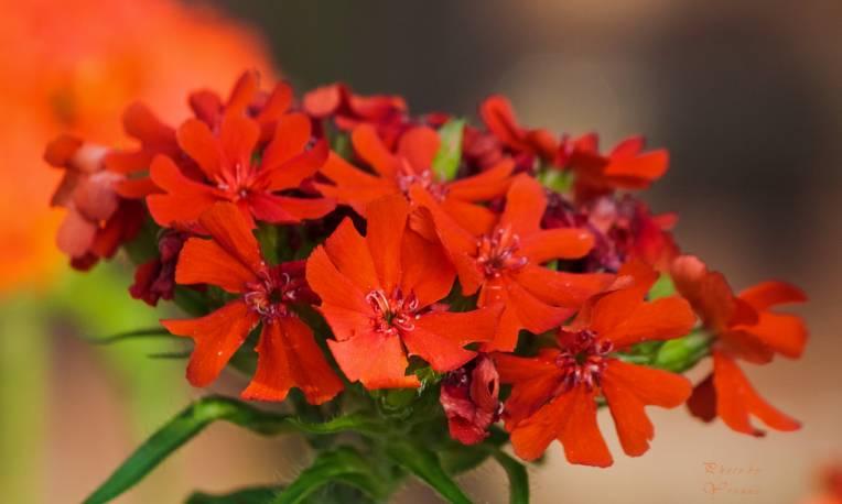 Firletka chalcedońska 'Red' Lychnis chalcedonica