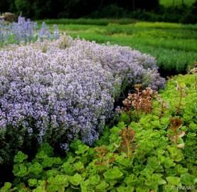 Macierzanka pospolita 'Silver Posie' Thymus vulgaris