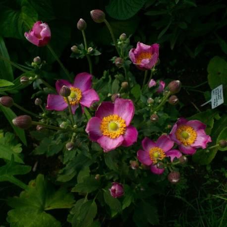 Zawilec japoński 'Pretty Lady Susan' Anemone hupehensis
