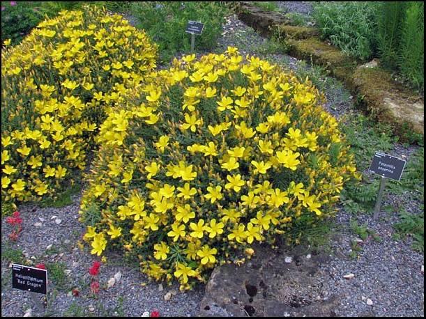 Dziurawiec wielolistny 'Grandiflorum' Hypericum polyphyllum