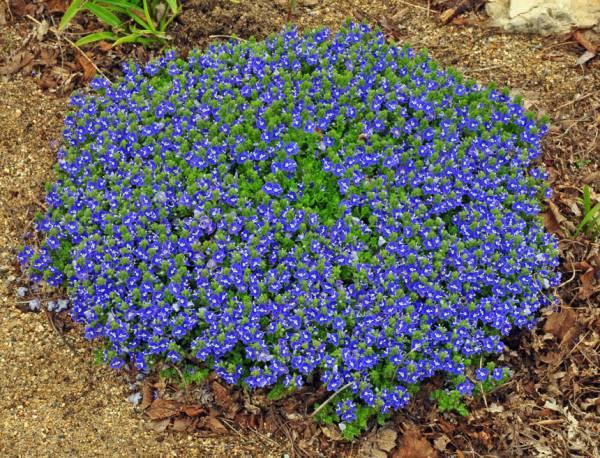 Przetacznik szypułkowy 'Georgia Blue' Veronica peduncularis