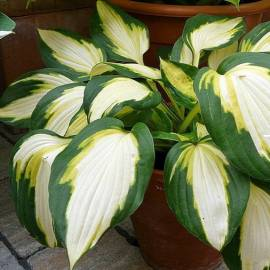 Funkia 'Color Festival' Hosta