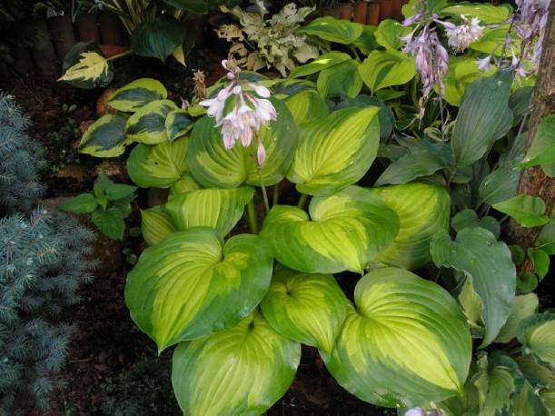 Funkia 'Lakeside Banana Bay' Hosta