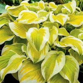 Funkia 'Spring Morning' Hosta