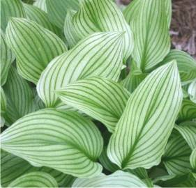 Funkia 'Zebra Stripes ' Hosta