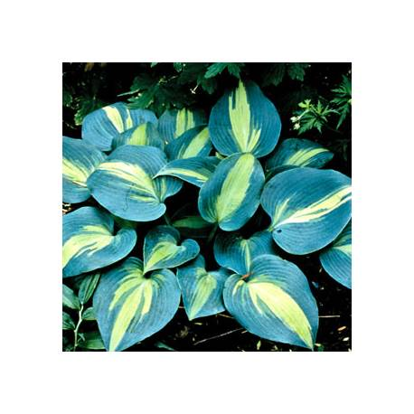 Funkia 'Touch Of Class' Hosta