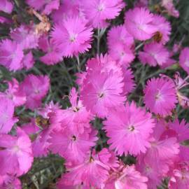 Goździk siny 'Firewitch' Dianthus gratianopolitanus