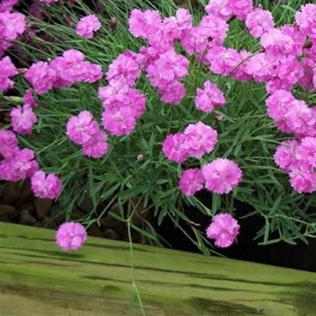 Goździk 'Pink Jewel' Dianthus