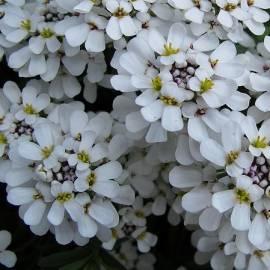 Ubiorek wiecznie zielony 'Snowflake' Iberis sempervirens