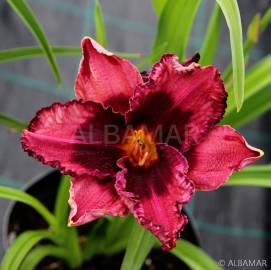 Liliowiec 'Night Breeze' Hemerocallis