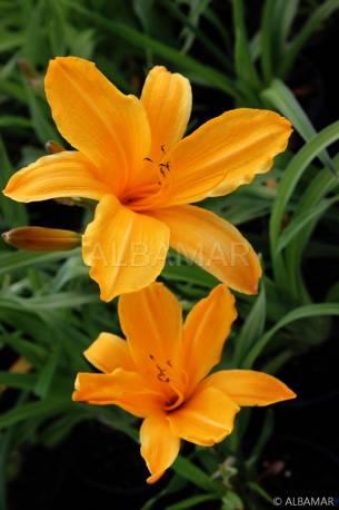 Liliowiec 'Norton Orange' Hemerocallis