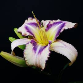 Liliowiec 'Destined To See' Hemerocallis