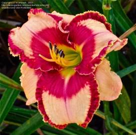 Liliowiec 'Lies And Lipstick' Hemerocallis