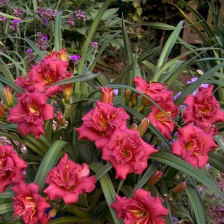 Liliowiec 'Little Red Baron' Hemerocallis