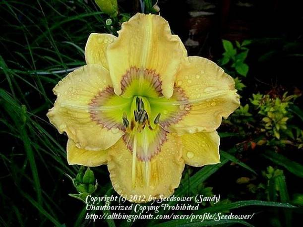 Liliowiec 'Etched Eyes' Hemerocallis