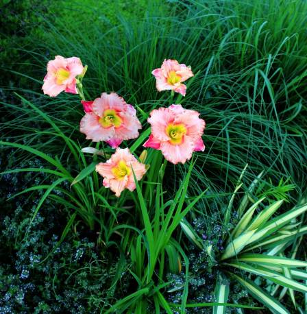 Liliowiec 'Elegant Candy' Hemerocallis