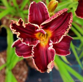 Liliowiec 'Naughty Red' Hemerocallis