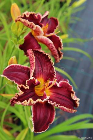 Liliowiec 'Naughty Red' Hemerocallis