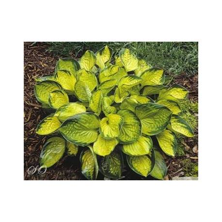 Funkia 'Rainforest Angel' Hosta