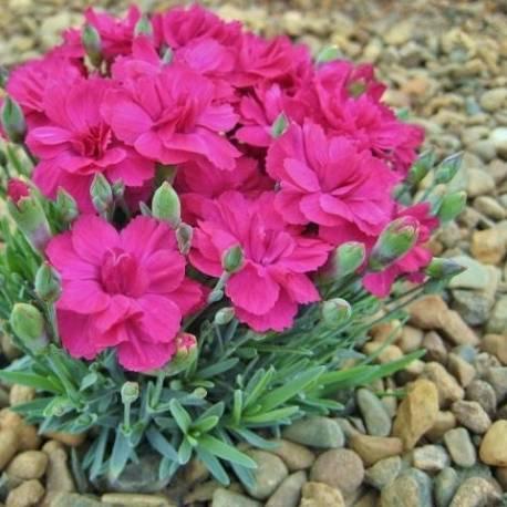 Goździk 'Anette' Dianthus